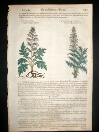 Gerards Herbal 1633 Hand Col Botanical Print. Acanthus  Bear's Breeches